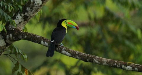Toucan sitting on the branch in the forest, green vegetation, Panama. Nature travel in central America. Keel-billed Toucan, Ramphastos sulfuratus, bird with big bill. Wildlife Costa Rica.