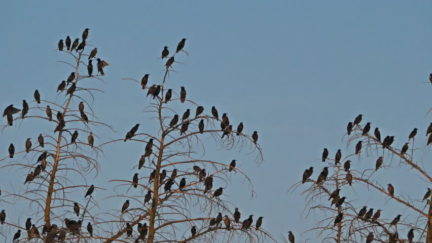 Group of common starlings in a tree. | Shutterstock HD Video #1022049445