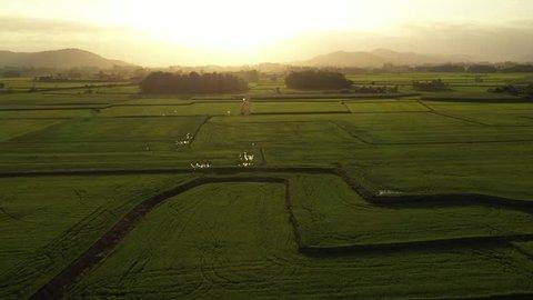 Rice planting in southern Brazil. City of Meleiro. Aerial view of rice plantation. 4K footage. Mavic 2 pro. Santa Catarina state. Family farming. Rice.