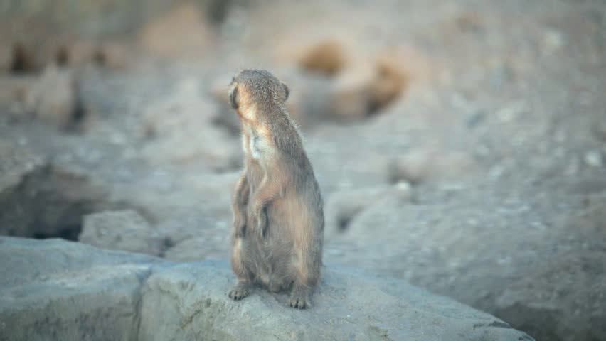 Meerkat sitting on a stone #1022184355