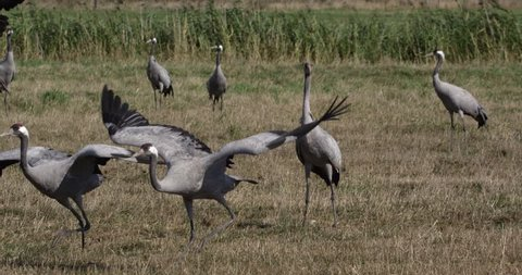 Common cranes in autumn - vorpommern germany