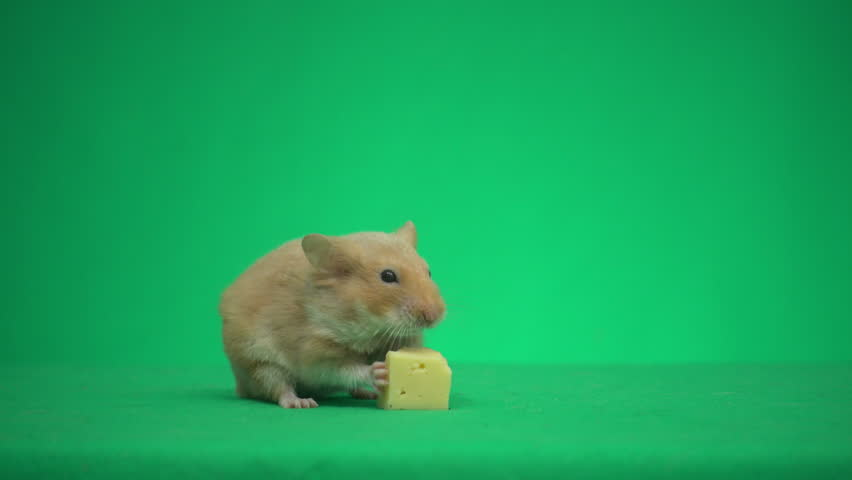 syrian hamster eating cheese on green screen #1022262385