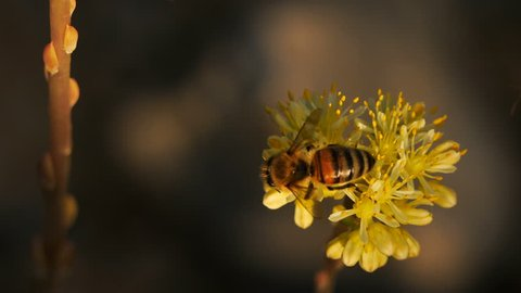 Sedum acre, commonly known as the goldmoss stonecrop, mossy stonecrop, goldmoss sedum, biting stonecrop and wallpepper.A bee foreging a Sedum acre. This is a wild flower in the southern France