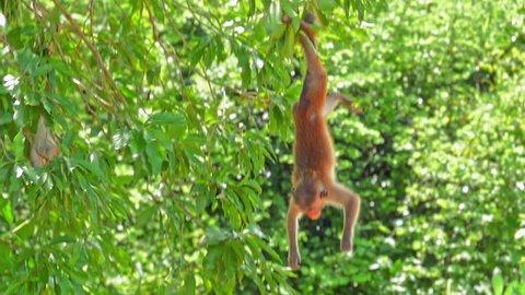 Funny monkey hanging on tree upside down in wild nature of Yala park in Sri Lanka. Wildlife fauna of Asia
