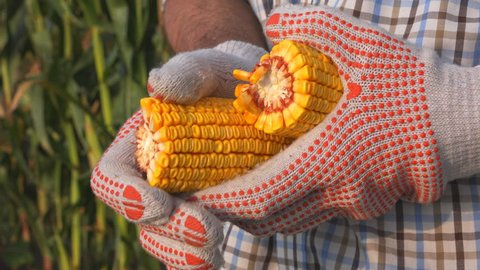 Farmer shelling corn cob, close up