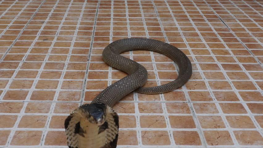 Cobra snake on the floor  | Shutterstock HD Video #1022689945