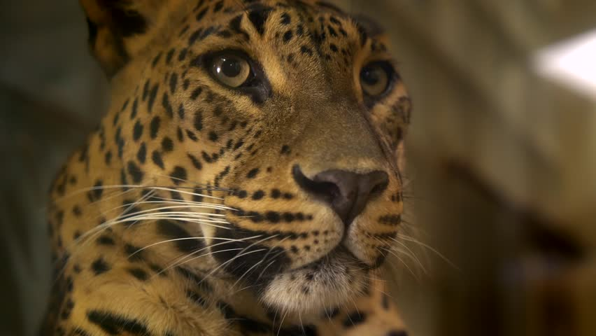 Leopard (Panthera pardus) held in captivity #1022693995