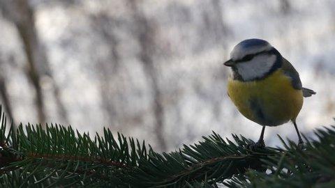 Blue tit on a fir-tree branch.