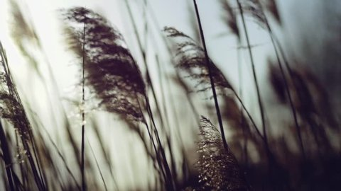 Wild grasses blowing in the wind. Shot in slow motion