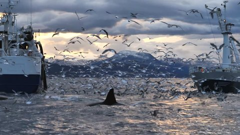 Slow motion - Orcas and humpback whales feeding between fishing boats.  Humpback whales hunting for herrings in the fjords of Norway in winter. Together with orcas and fin whales, they follow the big