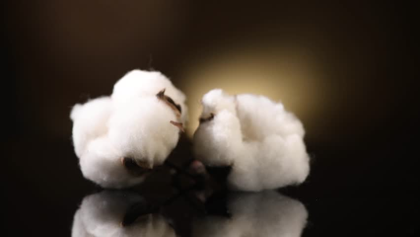 Cotton. Cotton bud close-up rotation on black background with reflection. Fluffy Cotton plant boll. Rotated. UHD 4K video | Shutterstock HD Video #1023150175