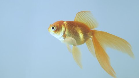 Gold fish isolated on a light background