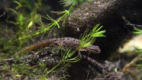 Common newt or smooth newt, Lissotriton vulgaris, male freshwater amphibian in breeding water form, biotope aquarium, closeup nature video