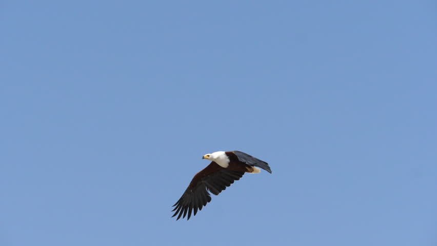 African Fish-Eagle, haliaeetus vocifer, Adult in flight, Flapping Wings, Baringo Lake in Kenya, slow motion