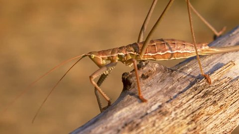 European predatory bush cricket (Saga pedo)