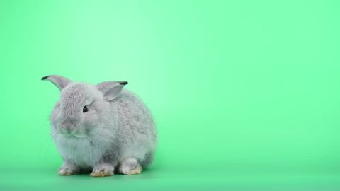 Cute light gray bunny rabbit on green screen background with stand up action to clean its foot