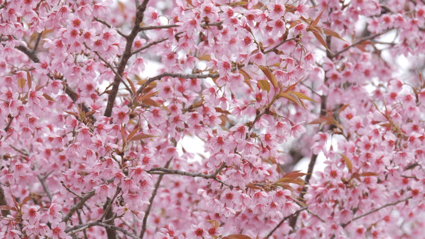 Pink Sakura flower bloom in spring season. | Shutterstock HD Video #1023733345