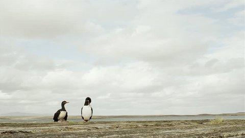 Magellan Cormorant Couple (Phalacrocorax Magellanicus), Standing at the Ocean, Falkland Islands, East Falklands.