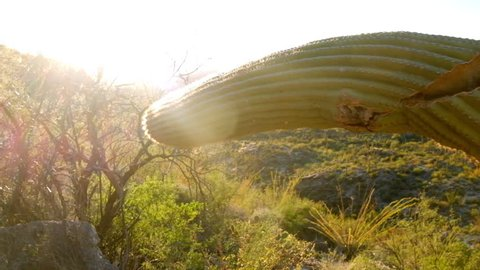 Weirdly shaped cactus plant in the humid high temperature desert region of Arizona bright in the afternoon ing shot)