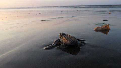 Atlantic Ridley sea baby turtles crossing the beach at sunrise. Newborn tiny turtles heading to the sea waters for the first time. Turtle hatchlings on the sands of the beach natural reserve.