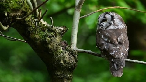 Tengmalm's owl (Aegolius funereus) perched in tree and turning head back and forth