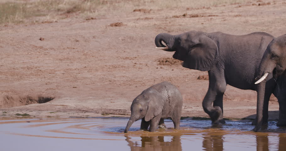 4K close-up view of a breeding herd of elephants approaching a waterhole to drink and a cute baby elephant is learning how to drink with its trunk, Hwange National Park, Zimbabwe | Shutterstock HD Video #1024037225