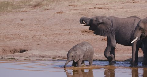 4K close-up view of a breeding herd of elephants approaching a waterhole to drink and a cute baby elephant is learning how to drink with its trunk, Hwange National Park, Zimbabwe