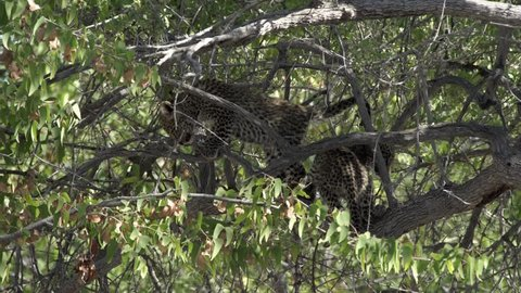 two vicious Leopard cubs having a ferocious fight in a tree in etosha national park namibia