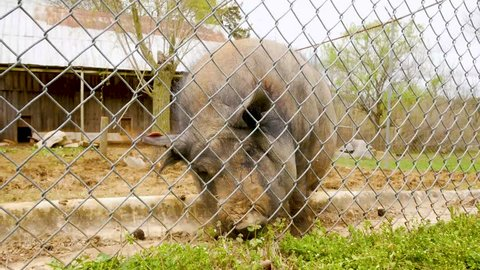 Horse Cave, Kentucky / United States - 04 24 2018: Potbellied Pig Eating Inside Fence - Kentucky