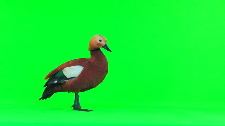 male Beautiful bright red duck (Ogar) isolated on green screen (In Slavic mythology and Buddhism, this bird was considered sacred) #1024181315