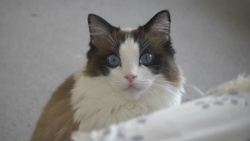 A Ragdoll Cat Sitting On Stock Footage Video 100 Royalty Free