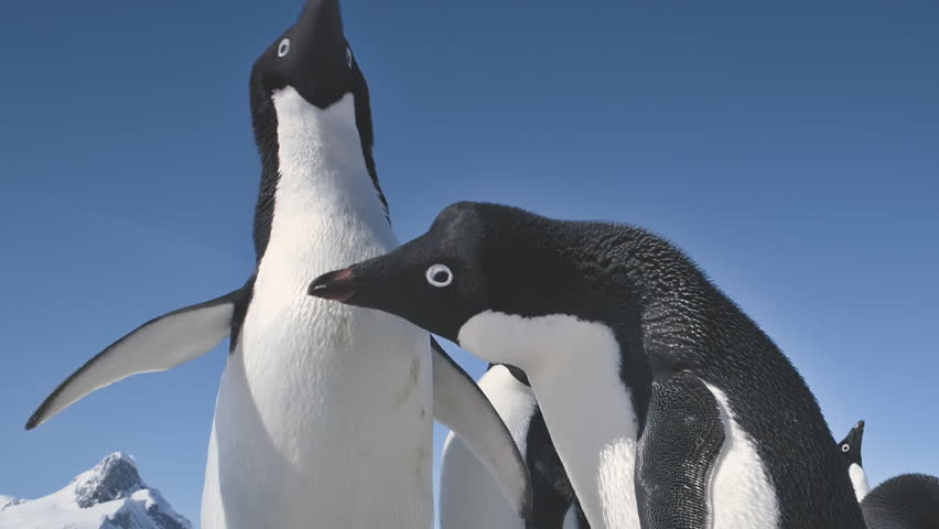 Close-up Adelie Penguins Couple Playing. Funny Male and Female Birdes in Antarctica Winter. Two Birds Waving Wings. Behavior Of Wild Animals Footage Shot Full HD1080p. 1920x1080 | Shutterstock HD Video #1024199135