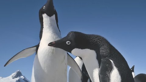 Close-up Adelie Penguins Couple Playing. Funny Male and Female Birdes in Antarctica Winter. Two Birds Waving Wings. Behavior Of Wild Animals Footage Shot Full HD1080p. 1920x1080