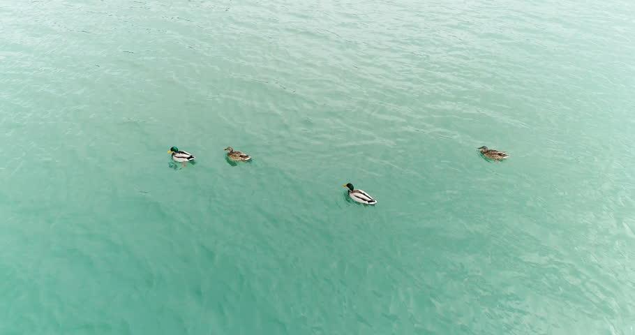 Close up above view of flock of wild ducks swimming on the river, 4k wildlife in the nature footage    Shutterstock HD Video #1024381925