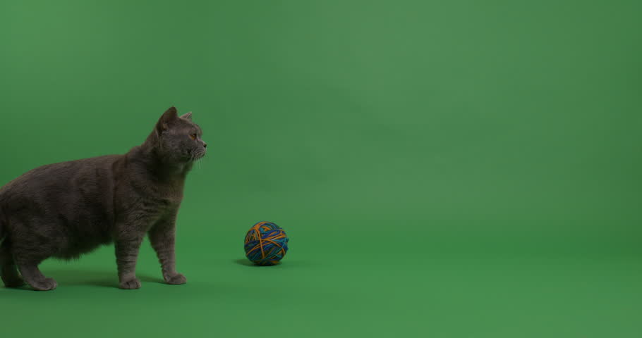 British Shorthair cat with a ball of yarn on a green screen. #1024458575