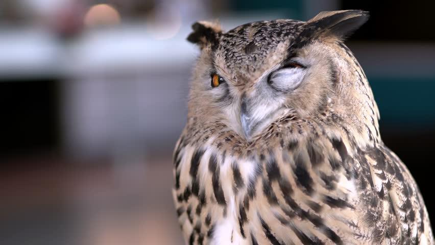 Beautiful Owl close up. Owl eyes. Background. #1024544525