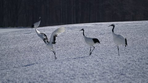 The red-crowned crane (Grus japonensis) or Japanese crane (also called the Manchurian crane ) in nature dancing for courtship at Tsurui Ito Tancho Sanctuary, Kushiro, Hokkaido, Japan.