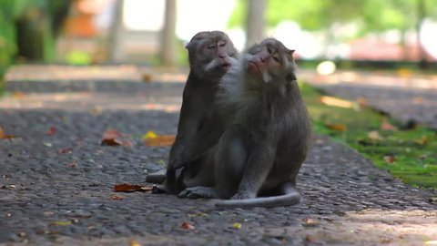 A monkey is finding a fleas to eat at his friend in Sangeh Bali Indonesia