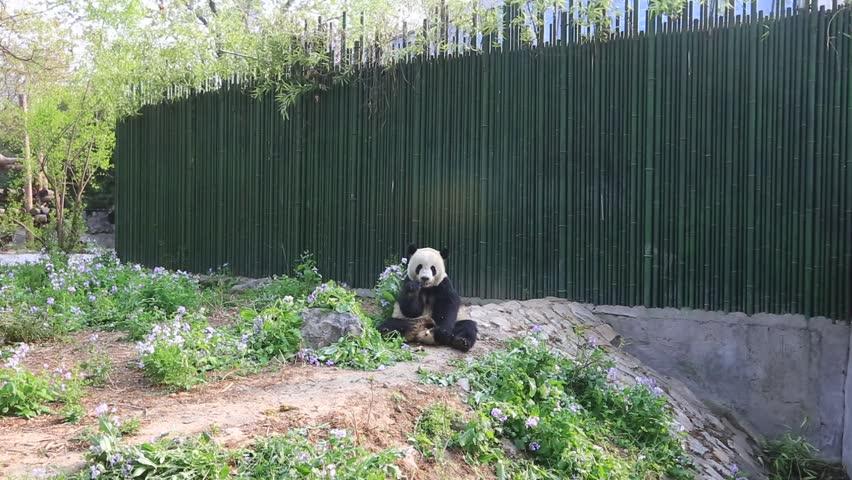 Panda at the Beijing Zoo in China   Shutterstock HD Video #1024802525