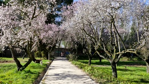Madrid / Spain - 02 23 2019: Dogs are playing between blooming almond trees with pink flowers at the park of Quinta de los Molinos in Madrid, Spain in spring. Famous park in Madrid with almond trees.