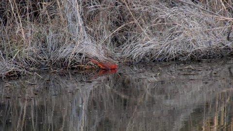 Male Northern Cardinal taking a bath in a lake