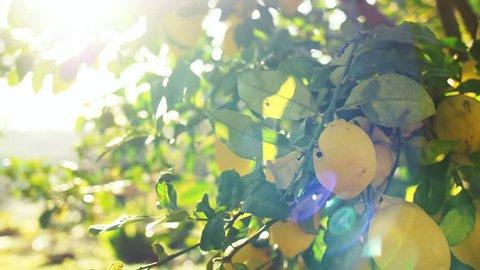 Lemon Tree At Sunrise, Close Up On Ripe Fruit. SLOW MOTION. Camera pan on beautiful citruses, lens flare.