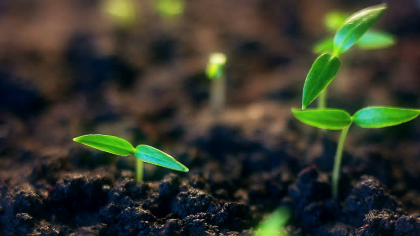 Time lapse of vegetable seeds growing or sprouting from the ground. #1025165795
