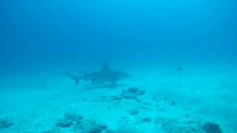 Bull shark swimming with remoras in the waters off Playa del Carmen.