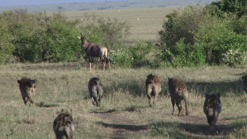 Many hyenas getting closer to an antelope | Shutterstock HD Video #1025323025