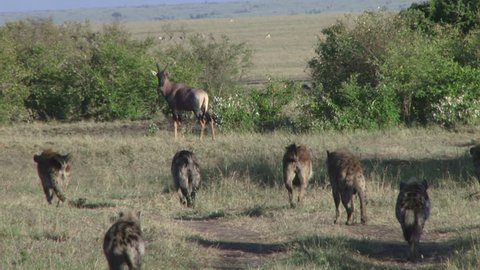 Many hyenas getting closer to an antelope