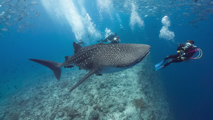 Whale shark swims in blue water with SCUBA Divers