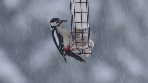 Great spotted woodpecker at the feeder