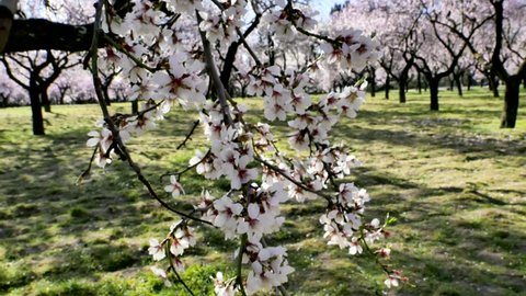 A video of an almond tree branch in blossom in Europe in spring with pink flowers with a changing focus to a long alley with blooming almond trees at a green park Quinta de lo Molinos, Madrid, Spain