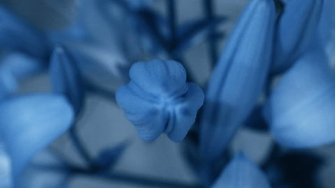 Blue Lily flower blooming, opening its blossom. Epic time lapse. Wonderful nature. Futuristic world